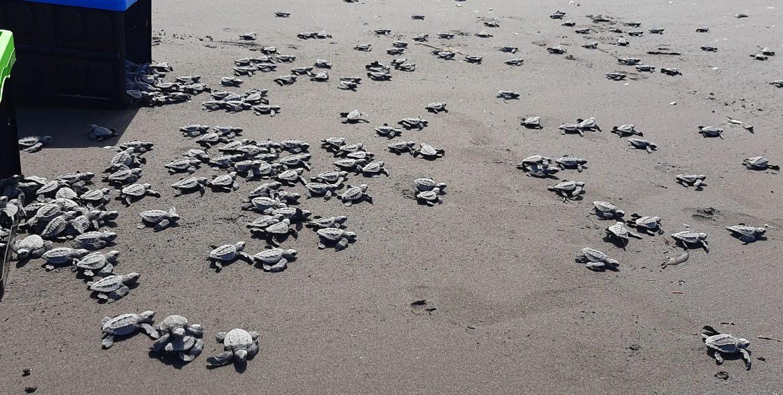 En Playa La Barqueta, liberan más de 31 mil neonatos de tortugas