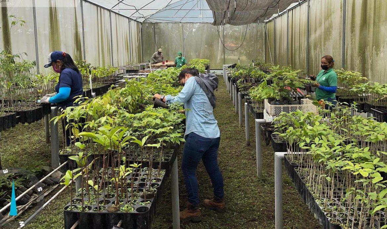 Producen más de 8 mil plantones de especies maderables en Boquete