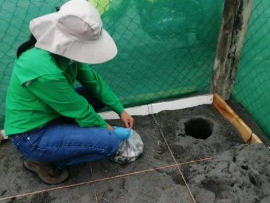 Inicia periodo de anidación de la tortuga lora en área protegida La Barqueta