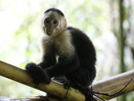 Decomisan primates en Panamá Oeste y Colón