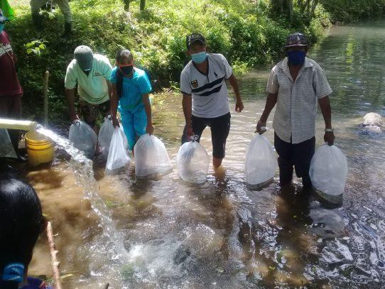 Cultivan más de 4 mil alevines de tilapias en la Comarca Ngäbe Buglé