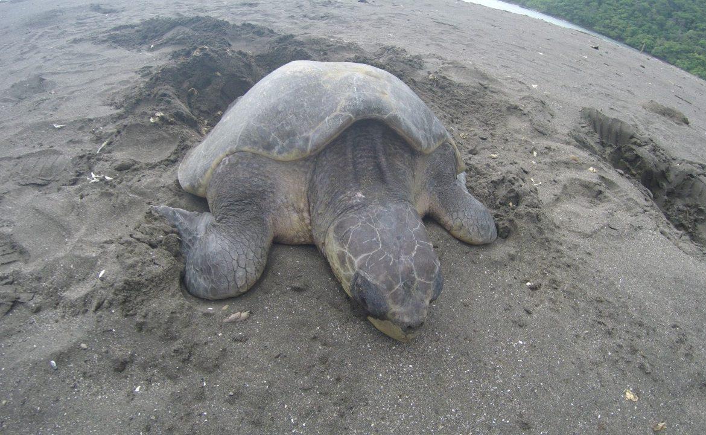 Nace más de 1 millón de tortugas en playas panameñas