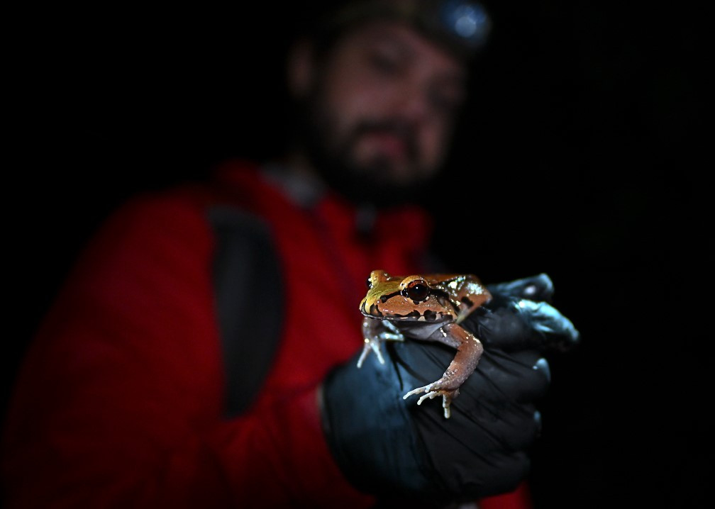 Un biólogo de Panamá cría ranas amenazadas para combatir tráfico ilegal