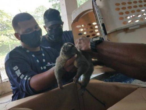 Rescatan un mono nocturno en Centro Penitenciario