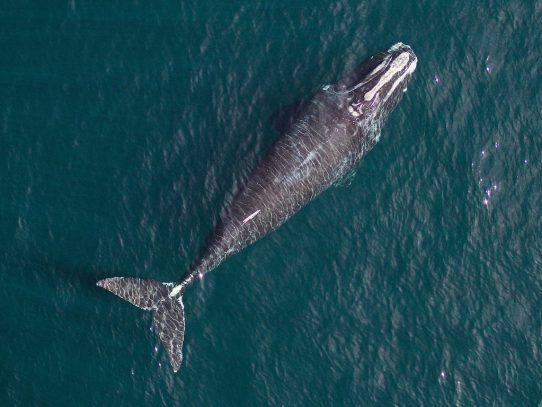 Al borde de la extinción, estas ballenas también se están encogiendo