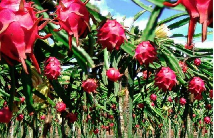 Producción de pitahaya o fruta de dragón toma auge en Panamá