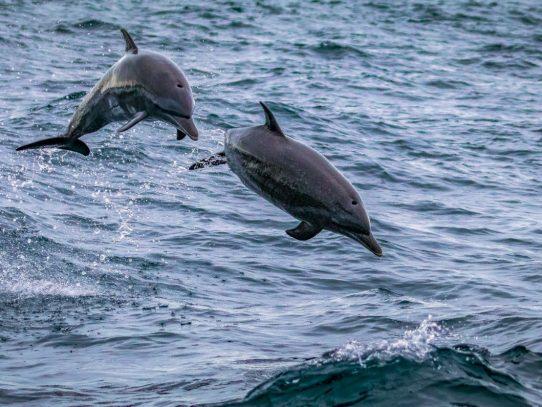 Los delfines vuelven al Tajo, en Lisboa, en unas aguas más limpias por la pandemia