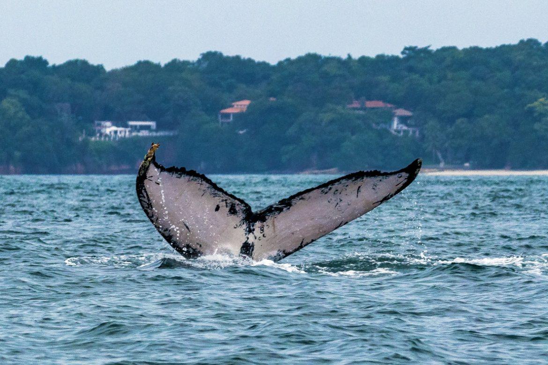 Se acerca avistamiento de ballenas jorobadas en Pacífico panameño