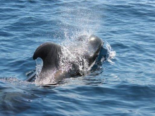 """""""Big data"""" para preservar a los cetáceos expuestos al avistamiento turístico"""