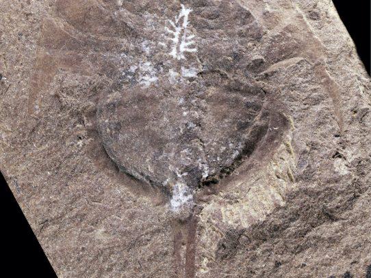 Un cerebro se conserva intacto en este fósil de 310 millones de años