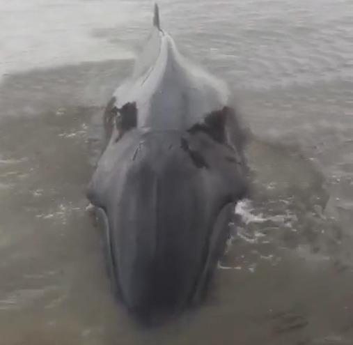 Ballena liberada retornó a la playa, no sobrevivió al tratar de regresarla al mar