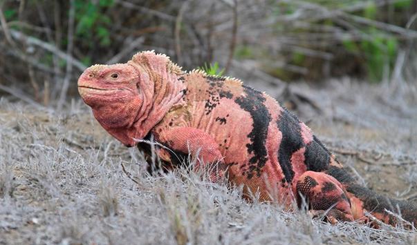 Expertos estiman en 211 ejemplares la población de iguanas rosadas de Galápagos