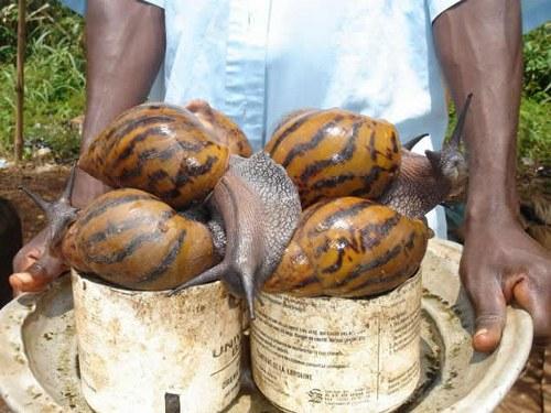 Declaran alerta fitosanitaria nacional ante la amenaza del Caracol Gigante Africano