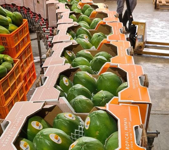 Dos contenedores de papaya panameña serán enviados a Estados Unidos