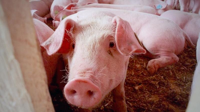 Censo de población porcina en Panamá, iniciará el lunes 6 de septiembre