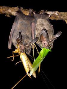 Estudio sobre murciélagos