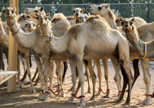 Clonación de camellos