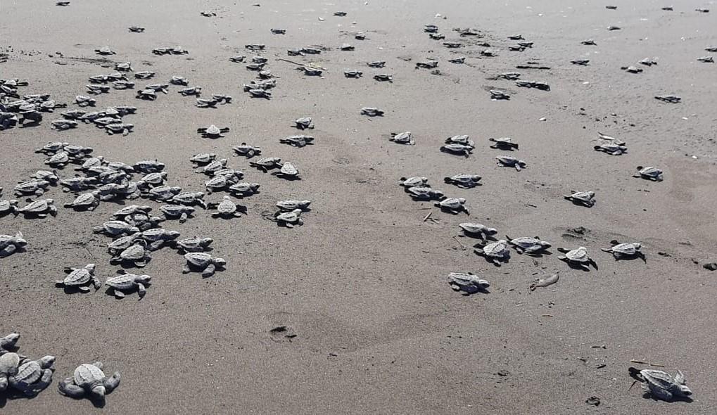 Intentan protección de neonatos de tortuga carey