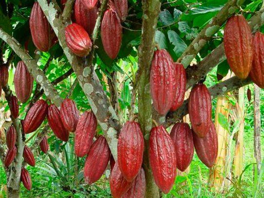 Bocas del Toro y la Comarca Ngäbe-Buglé, las mayores productoras de cacao en Panamá