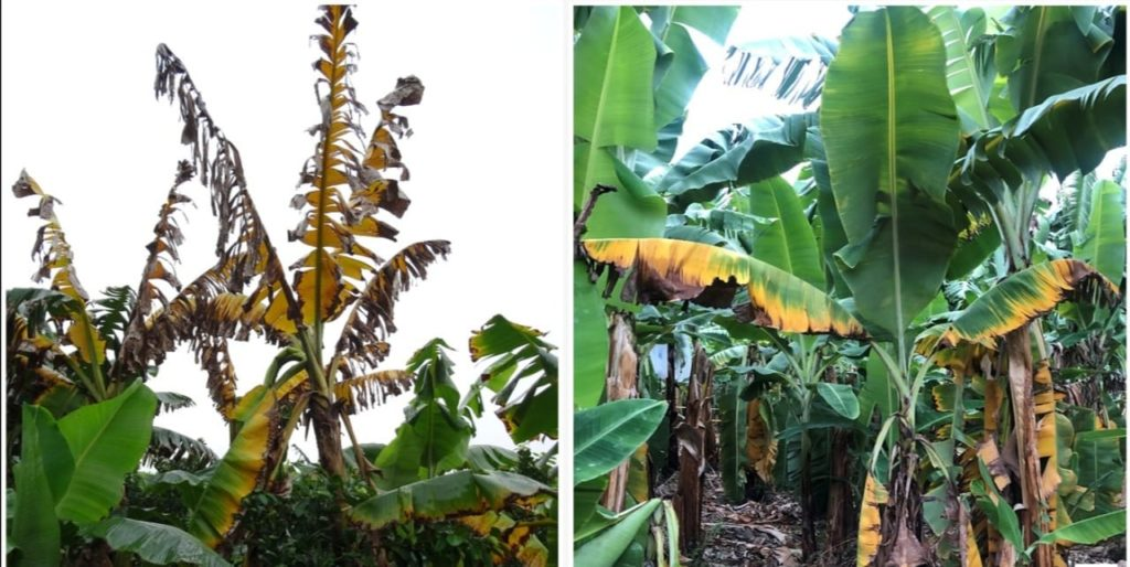 MIDA concientiza sobre temible hongo que afecta a los plátanos