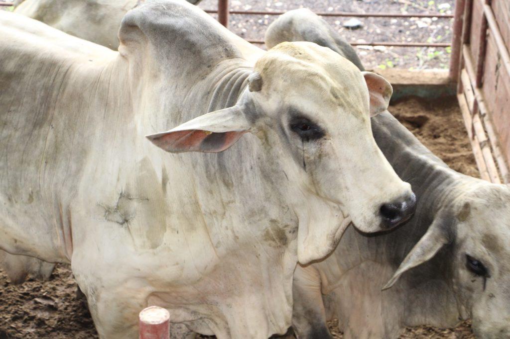 MIDA busca controlar dos brotes de rabia paralítica bovina en Coclé