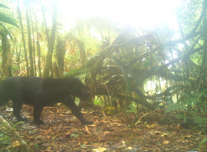 Se evidencia presencia de jaguar melánico en Chiriquí
