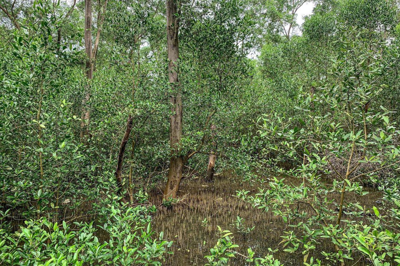 """Se recuperan los manglares en un sector de Bahía de Panamá tras una """"muerte masiva"""""""