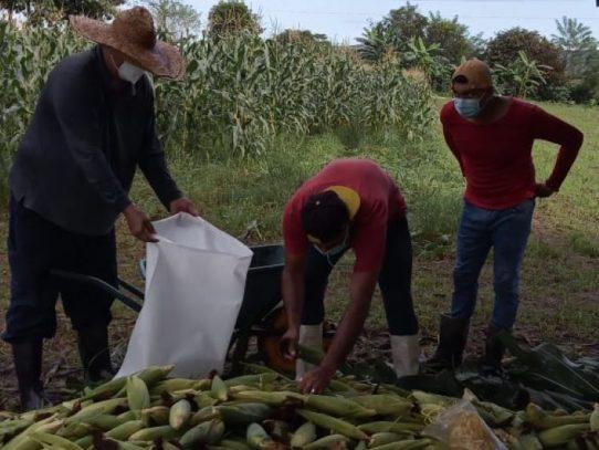 Inicia la cosecha de maíz en centro de reclusión de Penonomé