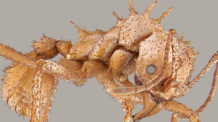 Una hormiga cortadora de hojas, primer insecto con armadura biomineral