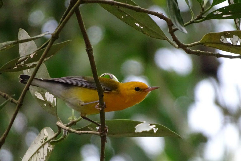 Ayer y hoy: prelanzamiento delPanama Bird Festival 2021