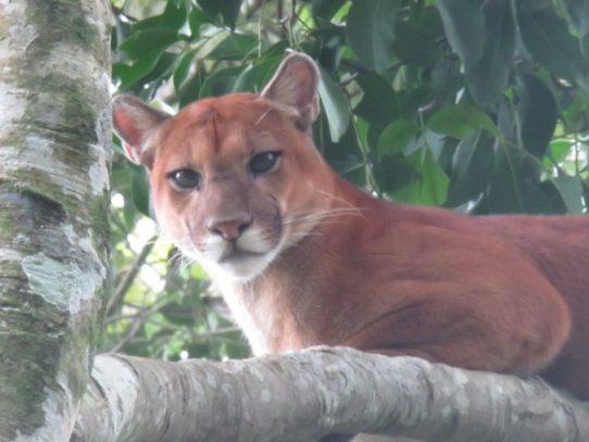 MiAmbiente salvaguarda la vida de un gran puma en Chiriquí