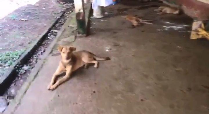 Investigan envenenamiento de perros en un albergue temporal en Arraiján