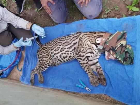 Falleció el ocelote Miguelito, fue atropellado en Chilibre