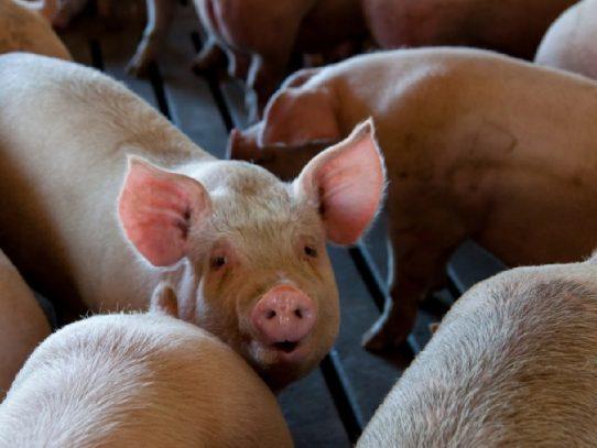 Sacrificio de ganado vacuno y porcino aumentó en septiembre de 2020