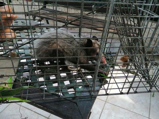 Violación de normas que rigen la vida silvestre en Panamá constituye un delito
