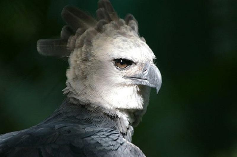 """Summit celebrará los 10 años del Águila Harpía, """"Panamá"""" el 22 de septiembre"""