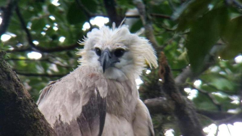 Pareja de águilas arpías de Donoso ya tiene su cuarto pichón