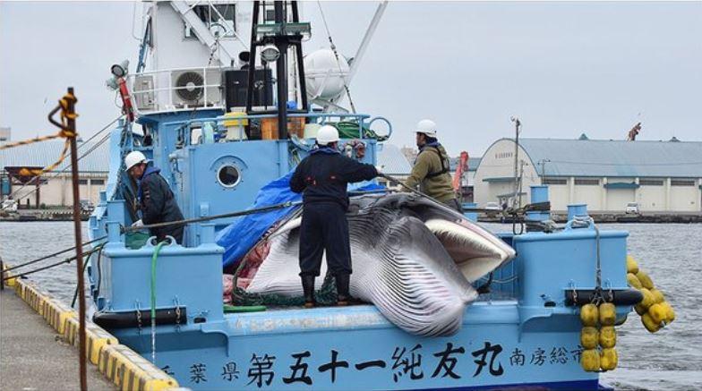 Japón reanuda la caza de ballenas tras más de 30 años de interrupción