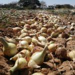 Tras protesta, cebolleros coclesanos alcanzan acuerdos con el gobierno