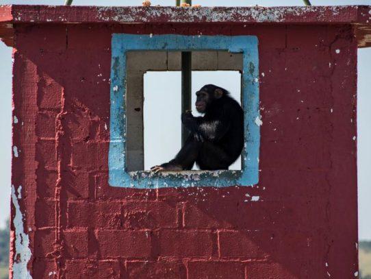 Reserva de Guinea anuncia nacimiento poco común de un chimpance