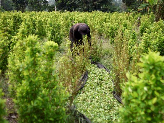 Colombia dice haber batido récord en erradicación de narcocultivos en 2019