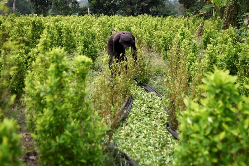 La coca invade reservas naturales en Colombia