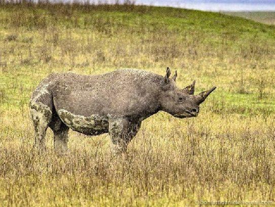 """El rinoceronte """"más viejo del mundo"""" muere en Tanzania a los 57 años"""