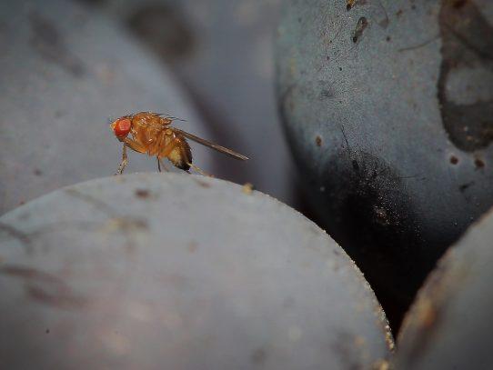 La importancia de las moscas de la fruta para la investigación científica