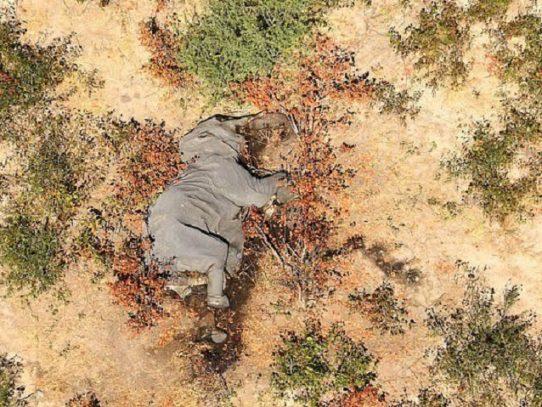 Toxinas naturales habrían causado la muerte de centenares de elefantes en Botsuana