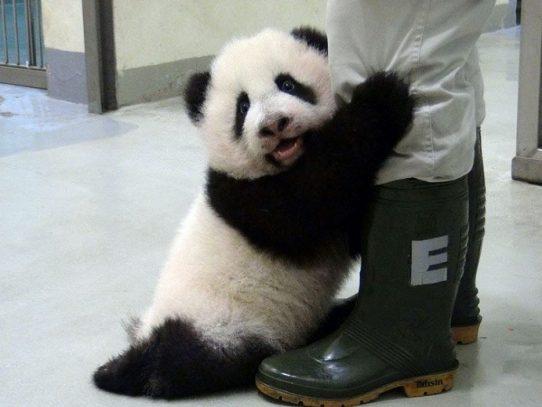 Un panda regalado por China a Taiwán tiene una segunda cría