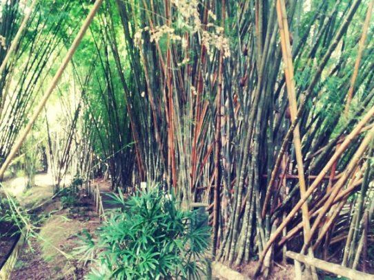 El 18 de septiembre Panamá celebrará el Día Mundial del Bambú