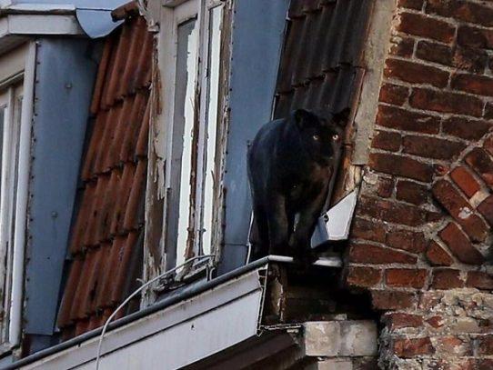 Roban en Francia una pantera negra que se escapó de un domicilio particular