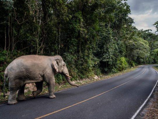 Los elefantes, amenazados desde hace tiempo por las multitudes tailandesas, recuperan un parque nacional