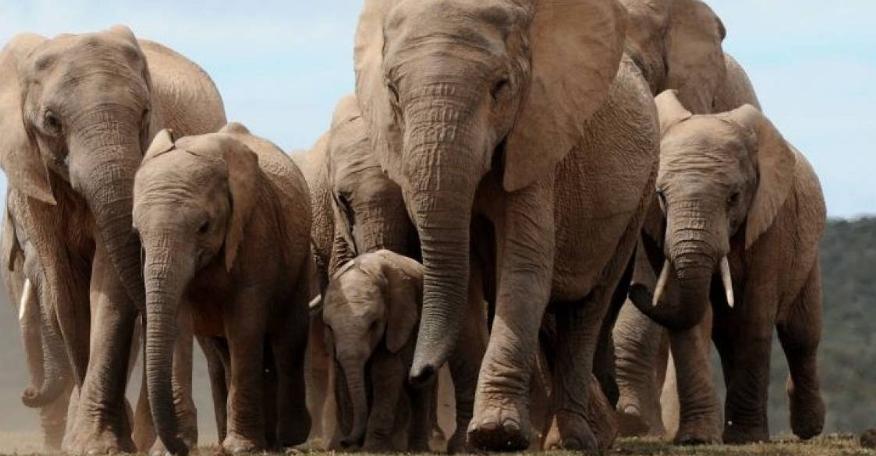 Larga marcha de elefantes en China pone en evidencia pérdida de hábitat